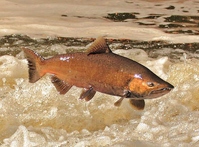 California wildlife department has removed dams that block salmon migration